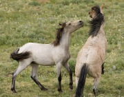 Pryor Mountains, Montana, wild horses, yearling colt plays with bachelor stallion