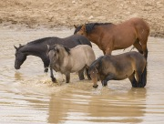 Pryor Mountains, Montana, wild horses, band pawing in water