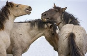 Pryor Mountains, Montana, wild horses, grulla roan stallion plays with two year old and yearling colts