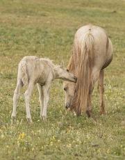 Pryor Mountains, Montana, wild horses, palomino colt chews on palomino stallion's tail