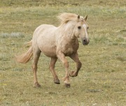Pryor Mountains, Montana, wild horses, palomino stallion running