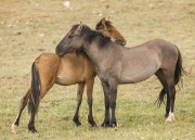 Pryor Mountains, Montana, wild horses, mare and yearling mutual grooming