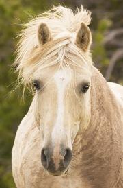 Pryor Mountains, Montana, wild horses, mud caked palomino stallion head on