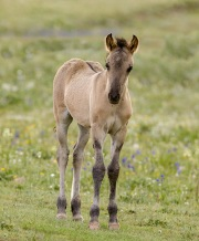 Pryor Mountains, Montana, wild horses, red dun filly in the lupine