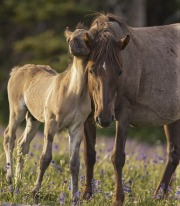 Pryor Mountains, Montana, wild horses, colt rubs red roan mare's neck