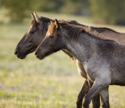 Pryor Mountains, Montana, wild horses, mare and yearling stand together