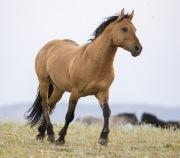 Pryor Mountains, Montana, wild horses, red dun stallion trotting