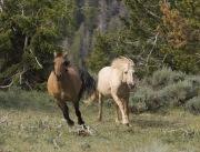 Pryor Mountains, Montana, wild horses, palomino stallion chases red dun mare