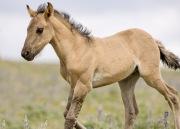 Pryor Mountains, Montana, wild horses, dun filly trotting
