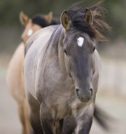 Mustang at Return to Freedom Sanctuary in Lompoc, CA, grulla filly and buckskin mare