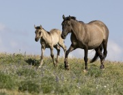 Pryor Mountains, Montana, wild horses, grulla mare and foal trot