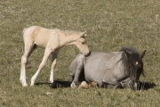 Pryor Mountains, Montana, wild horses, palomino colt nuzzling sleeping mare