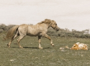 Pryor Mountains, Montana, wild horses, palomino stallion runs against snow backdrop