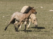 Pryor Mountains, Montana, wild horses, palomino stallion drives yearling filly