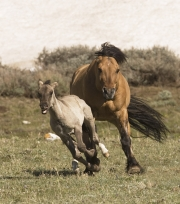 Pryor Mountains, Montana, wild horses, dun stallion drives grulla foal away