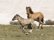 Pryor Mountains, Montana, wild horses, foal running while yearling looks on