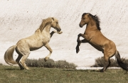 Pryor Mountains, Montana, wild horses, palomino and red dun stallions rearing