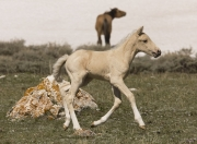 Pryor Mountains, Montana, wild horses, palomino colt runs with other horse in back on snow