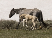 Pryor Mountains, Montana, wild horses, palomino colt leaps next to grulla mare