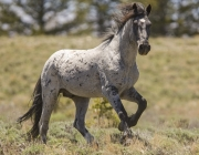 Pryor Mountains, Montana, wild horses, blue roan stallion runs