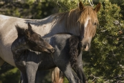 Pryor Mountains, Montana, wild horses, mare and foal