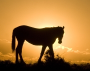 Pryor Mountains, Montana, wild horses, yearling silhouette at sunrise