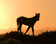 Pryor Mountains, Montana, wild horses, foal silhouette at sunrise