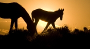 Pryor Mountains, Montana, wild horses, mare and foal silhouettes at sunrise
