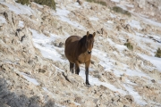 wild horse, mustang, bay stallion in Pryor Mountains, MT in winter