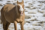 wild horse, mustang, young sorrel stallion yawning in winter in Pryor Mountains, MT