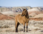 wild horse, mustang, red dun stallion in winter in Pryor Mountins, MT