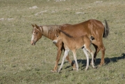 Sorrel mare and chestnut filly in Pryor Mountains, Montana