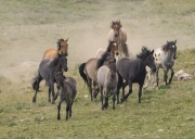 Pryor Mountains, Montana, wild horses, band runs to water