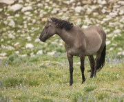 Pryor Mountains, Montana, wild horses, grulla mare looks