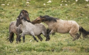 Pryor Mountains, Montana, wild horses, red roan abchelor stallion biting grulla bachelor stallion