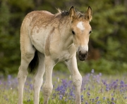 Pryor Mountains, Montana, wild horses, dun filly in lupine