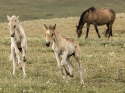Pryor Mountains, Montana, wild horses, dun filly and palomino colt play