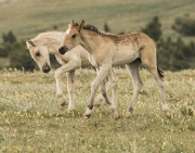 Pryor Mountains, Montana, wild horses, palomino colt and dun filly play