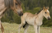 Pryor Mountains, Montana, wild horses, mare and filly