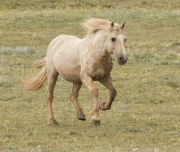 Pryor Mountains, Montana, wild horses, palomino stallion running