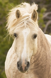 Pryor Mountains, Montana, wild horses, mud caked palomino stallion head on