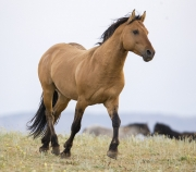 Pryor Mountains, Montana, wild horses, red dun stallion trotting