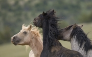 Pryor Mountains, Montana, wild horses, palomino band stallion plays with bachelor stallions
