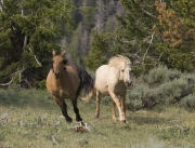 Pryor Mountains, Montana, wild horses, palomino stallion chases red dun mare