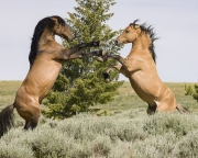 Pryor Mountains, Montana, wild horses, red dun and bay stallions rear