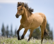 Pryor Mountains, Montana, wild horses, red dun yearling filly runs