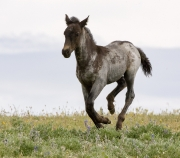 Pryor Mountains, Montana, wild horses, dark colt running
