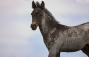 Pryor Mountains, Montana, wild horses, dark colt walking