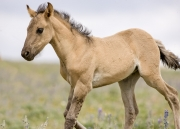 Pryor Mountains, Montana, wild horses, dun filly trotting