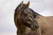 Pryor Mountains, Montana, wild horses, grulla stallion looking